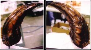 The Kothoga's mandible teeth.